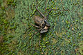 Flickr - ggallice - Tailless whipscorpion.jpg