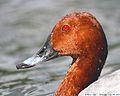 Flickr - law keven - It's all water of a ducks.....head....jpg