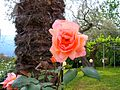 Flickr - ronsaunders47 - A ROSE BY ANY OTHER NAME.jpg