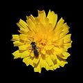 Flor e insecto en Valverde. Vilarromarís. Oroso-x3.jpg