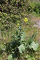 Flora della Sardegna 148 (1).JPG