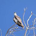 Florida- 1696 Egmont Key Osprey (cropped).JPG