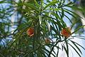 Flower Thevetia Peruviana.JPG