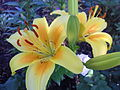 Flowers, lily.JPG