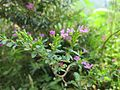 Flowers in Monsoon 07.JPG
