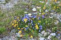 Flowers of Austrian Alps 3214.jpg