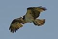 Flying osprey at the Chincoteague National Wildlife Refuge by Bonnie Gruenberg.jpg
