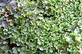 Fore émergée d'une zone d'encroutement algal et ou bactérien sur plantes aquatiques aout 2016 Sèvre niortaise F.Lamiot 02.jpg