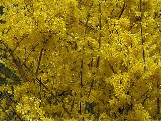 Zlatovka (nesprávne označovaná ako zlatý dážď)