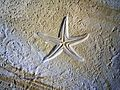 Fossiler Seestern.jpg