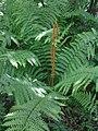 Fougère Osmundastrum - Cinnamon fern (4702747302).jpg