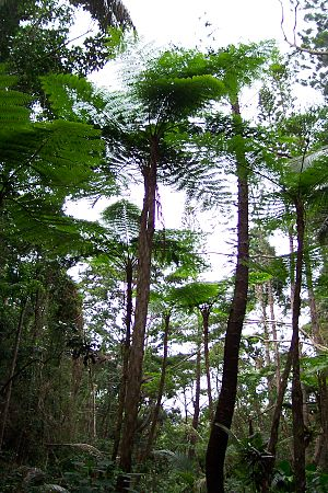 New Caledonia rain forests - Tree ferns on Isle of Pines