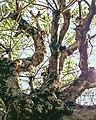 Fragipani tree.jpg