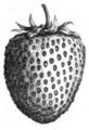 Fraise Lucas Vilmorin-Andrieux 1883.png