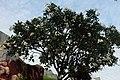 Frangipani tree with flowers outside Haw Par Villa (14771026226).jpg