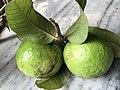Fresh Guava.jpg
