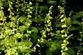 Fringecup (Tellima grandiflora) (5813743457).jpg