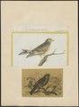 Fringilla citrinella - 1700-1880 - Print - Iconographia Zoologica - Special Collections University of Amsterdam - UBA01 IZ16000043.tif