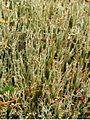 Frosted Cladonia (5038312144).jpg