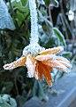 Frozen marigold (23645674992).jpg