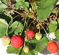 Fruits of Fragaria × ananassa.JPG