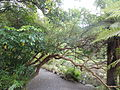 Fuchsia excorticata CHCH 1.JPG
