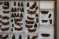 Fulgoridae Drawers - 5036087729.jpg