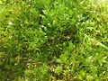 Funaria hygrometrica 01.JPG