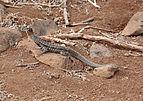 Galápagos Lava Lizard 01.jpg