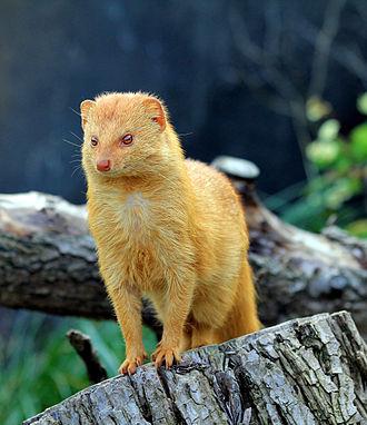 Slender mongoose - Slender mongoose in the Prague Zoo, Czech Republic