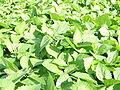 Galinsoga parviflora.jpg