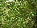 Gardenia resinifera (5849018061).jpg