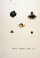 Geaster schmidelii — Flora Batava — Volume v20.jpg