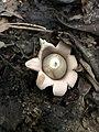 Geastrum saccatum 27375106.jpg