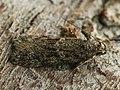 Gelechia muscosella - Grey sallow groundling (27032858378).jpg