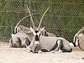 Gemsbok - spike buck - Spießbock - hère - Oryx gazella - 01.jpg