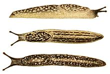Three yellow and brown spotted slugs with faint dark bands and dark tentacles. Top drawing shows right side of slug, which is facing right, the other two show slugs that are facing left. Second one shows view from above with 4 long bands, third shows a larger darker slug with only two long bands.