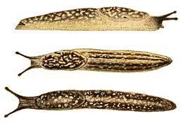 Geomalacus maculosus 2