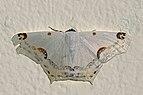 Geometrid moth (Sericoptera mahometaria).jpg