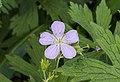Geranium cultivar lila. actm 02.jpg