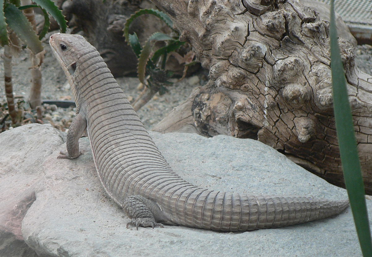 Sudan Plated Lizard Wikipedia