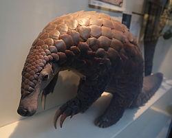 Giant pangolin (Manis gigantea), Natural History Museum, London, Mammals Gallery.JPG