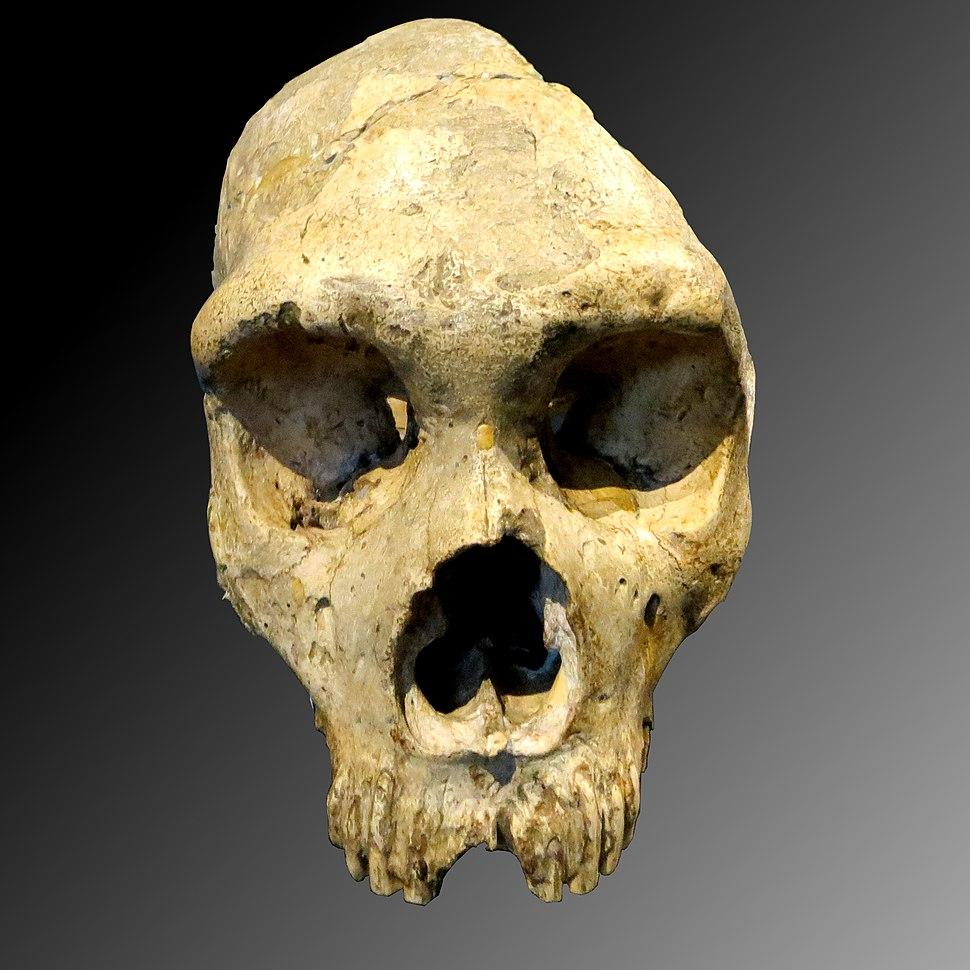 Gibraltar Skull (1)a