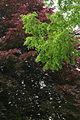 GlT 1536 Bärnbach Metasequoia+Blutbuche.JPG