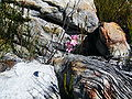Gladiolus brevifolius.jpg