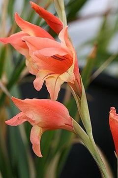 Gladiolus dalenii.jpg