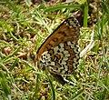 Glanville Fritillary. Melitaea cinxia (45759996332).jpg