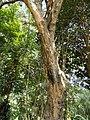 Gliricidia sepium - San Juan Botanical Garden - DSC07053.JPG