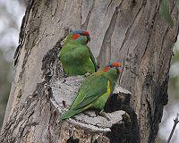 Glossopsitta concinna (pair) Victoria -Australia-8.jpg