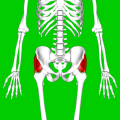 Gluteus medius muscle06.png